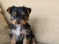 I have 3 male Yorkie children, 8 weeks all set and old