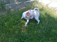 I AM SELLING AYOUNG MALE PURE-BREED CHIHUAHUA-(TEACUP