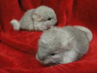 I have two very sweet baby chinchillas that will be