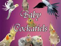 Baby Cockatiels Available Weaned and Preweaned Colors