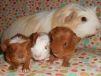 My Blossom just had babies. She is a coronet guinea pig
