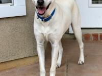 Baby Girl is a beautiful 1 year old Lab mix seeking a