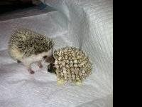 I have 4 baby hedgehog that will be ready in about one