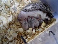 Healthy baby hedgehogs for sale. Raised in a USDA