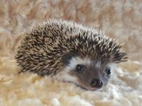 Baby Hedgehogs for sale in Texas Visit our website for