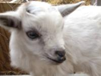 We have several baby kid goats just weaned and ready