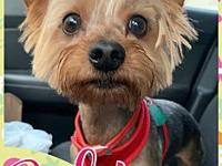 My story Baby is a 4 year old Yorkie. She is spayed,
