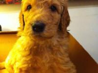Hey there!:). We had 6 beautiful Goldendoodle new