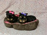 YORKIE PUPPIES: 2 Girls available - 8wks. old, had