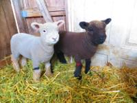 "Animal Type: Sheep The ""Babydoll"" Southdown is a"