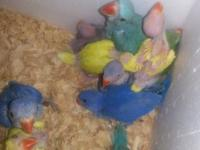 Ihave diferent color babys ringneck in the amazon pet