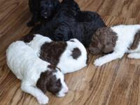 Back to the future puppies! Home raised. 1 brown and