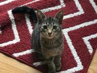 Bacon's story Foster Bacon Male Domestic Shorthair,