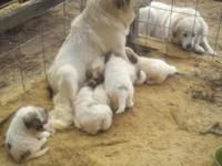 Big stunning badger face pyrenees puppies for sale. The
