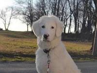 My story He is a one year old large, male, Maremma
