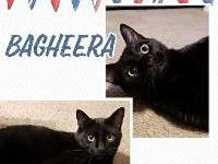 Bagheera's story This handsome guy is a real sweetheart