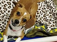 Bailee's story Breed: Beagle/Terrier mix Age: 1 year