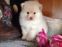 This little Precious Pomeranian is raring and ready to