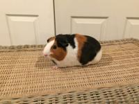 Bailey is wonderful 9 month old female Guinea Pig who