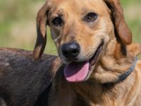 Bailey is a lovely female shepherd/hound mix. She is