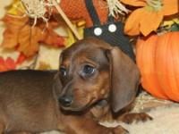 Bailey is a wild boar color mini dachshund short hair