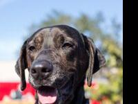 Bailey is a 4 year old Plott hound mix that is looking