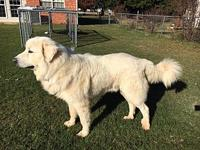 Baker's story Baker is a 3 yr old Great Pyrenees that's