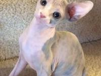 TCA signed up Sphynx kitties for sale. Guaranteed