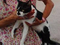 Balinese - Boo - Medium - Adult - Female - Cat Boo is a