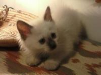 BEAUTIFUL BALINESE CHOCLATE POINT MALE KITTEN