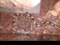 Great pet for reptile lovers! Very well tamed! On live