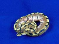3 and a half (ish) foot long ball python needs new