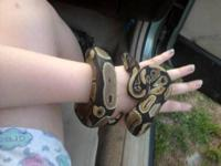 I have had my ball python Izzy for about five or six