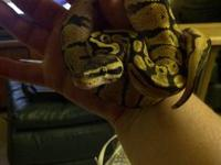 I have a great collection of ball pythons and was