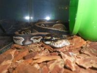 Ball Python - Diago - Large - Young - Male Adoption