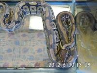 Ball Python - Elvis - Extra Large - Adult - Male This