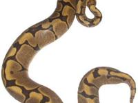 1.1 2011 Super Dwarf Reticulated Pythons: $450/$500 or