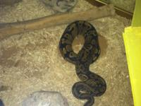 Im planning to rehome our 1 year old ball python snake.