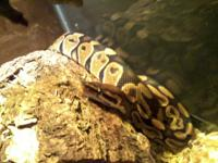 Looking to re-home a year and a half old Ball Python.