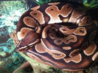 Owned this ball python for about 6 years now. About 4