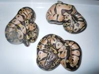 0.3 baby normal female ball pythons all 100g + $50