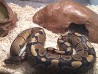 He is a Ball Python. I just want to get rid of him I