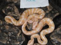2012 baby ball python morphs for sale. Shipping and