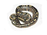 I BREED SEVERAL DESIGNER MORPH BALL PYTHONS AS WELL AS