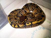 Normal Ball Pythons $40 each -Yellow Nigerian