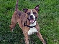 Bam Bam's story Bam Bam is a male, 9 year old Boxer mix