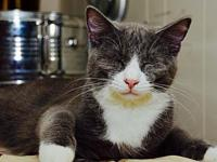 Bam-Bam is super sweet!'s story This sweet grey tuxedo