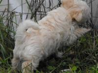 "Morkie male- 2/3 maltese and 1/3 yorkie. ""BamBam"" is 8"