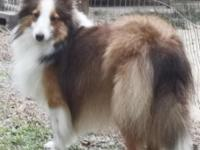 BAMBI is a darling little toy sheltie, virtually 11