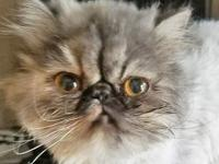 Bambie, 10-month-old Persian, Spayed Female  Bambi is a